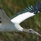 Gray Stork inflight by imagetj