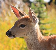 Black-tailed fawn on Hurricane Ridge, Olympic National Park by DArthurBrown