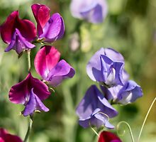 Sweetpeas for Spring by SeeOneSoul