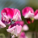 Pink & White Sweetpea by SeeOneSoul