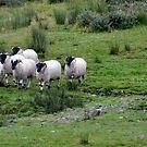 Blackhead sheep by Arie Koene