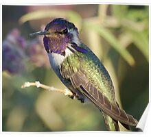 Costa hummingbird Poster