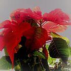 Christmas poinsettia  by anadawani
