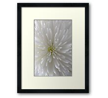 white Chrysanthemum macro Framed Print