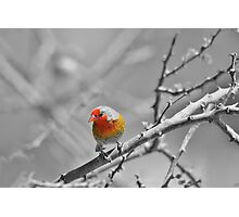 Melba Finch - Selective Coloring - Wildlife Colors of Gold and Red Photographic Print