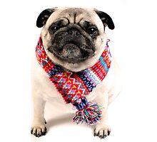 I AM PUG..... in scarf... Photographic Print