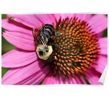 Bumble Bee and Cone Flower Poster