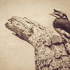 Great (grandfather) Hornbill. by alan shapiro
