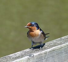 Welcome Swallow  : Hirundo neoxena by Trish Meyer