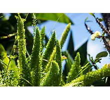 Fluffy Plants - Nature Photography Photographic Print