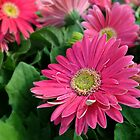 Pink Gerbera Daisies by Scott Mitchell