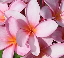 Pink Frangipanis by Sandy1949