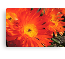 Spring Blooms of an Orange Ice Plant  Canvas Print