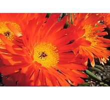 Spring Blooms of an Orange Ice Plant  Photographic Print