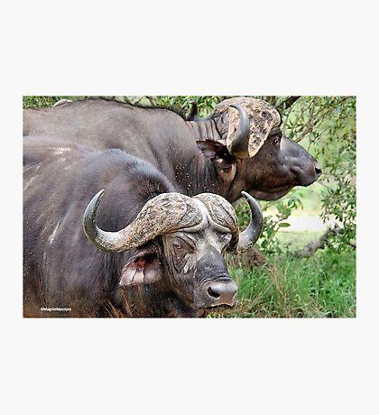 THE CAST- AWAYS - The Buffalo - Syncerus caffer  Photographic Print