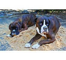 Just trying to help!  -Boxer Dogs Series- Photographic Print