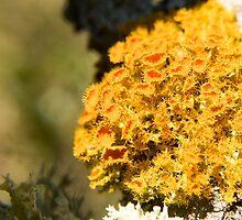 Fruticose Lichen by PeterWhy