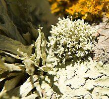 Lichen by PeterWhy