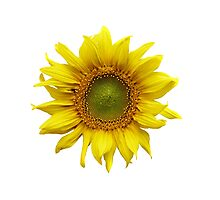Sunny Sunflower Photographic Print