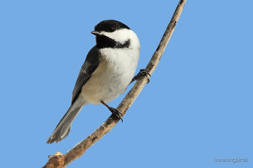 Black-capped Chickadee Closeup by hummingbirds