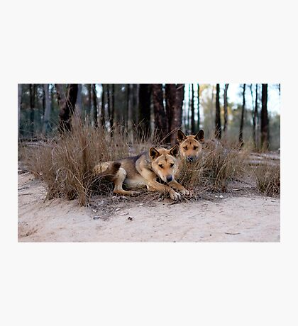Watchful Dingoes Photographic Print