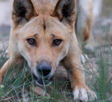 Playful Dingo Sticker