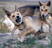 Playful Dingoes by dPphodography
