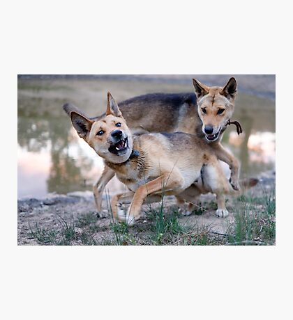 Playful Dingoes Photographic Print