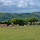Herd of Fallow Deer by AnnDixon