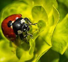 Ladybug by dominanteye
