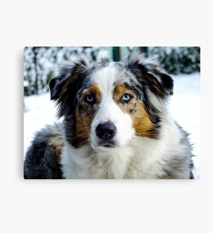 AS blue merle third Canvas Print