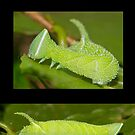 The Walnut Sphinx Moth Caterpillar by DigitallyStill