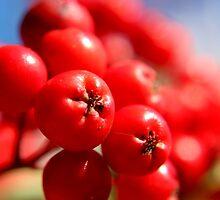 Rowan Berries by Kathleen Daley