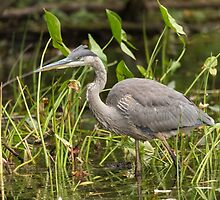 Great Blue Heron - Mud Lake, Ottawa, Canada by Josef Pittner