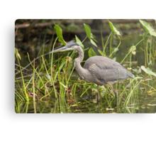 Great Blue Heron - Mud Lake, Ottawa, Canada Metal Print