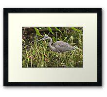 A Great Blue Heron fishing - Mud Lake, Ottawa, Canada Framed Print
