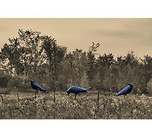 3 Crows in Field Photographic Print