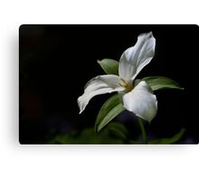 Trillium in partial shade Canvas Print