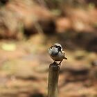 House sparrow (Passer domesticus) by Hedgie's Nature & Gardening Journal