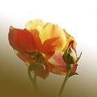 Emerging rose by OlaG