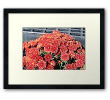 Red Mums Framed Print