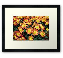 Red and Yellow Daisies Framed Print