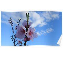 Apricot blossom flower Poster