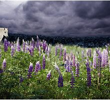 A Childs Dream Among Lupine by Wayne King