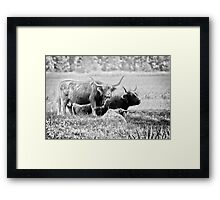 Highland cattle cows family on pasture Framed Print