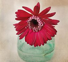 Gerbera Daisy in a teal clear vase. by carolynrauh