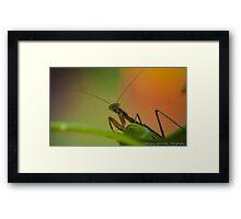 Praying Mantis 3 Framed Print