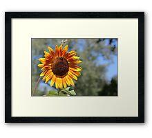 My Neighbor's Sunflower 1 Framed Print