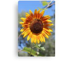 My Neighbor's Sunflower 2 Canvas Print