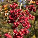 Tree Berries  by Rob Hawkins